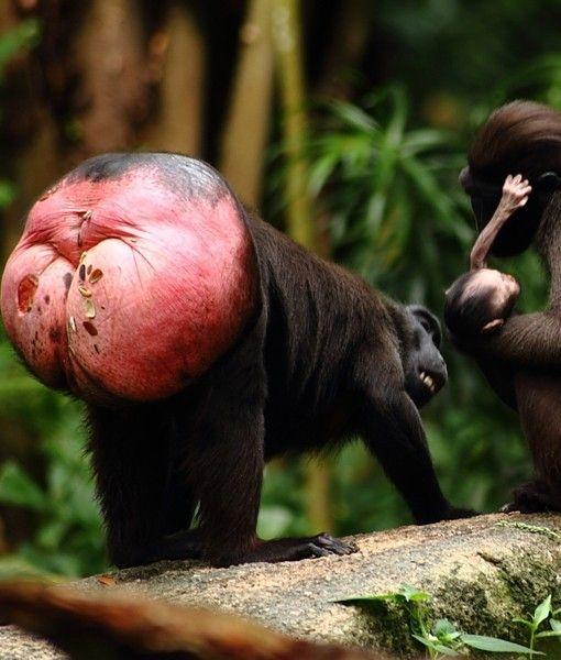 ˚Crested Macaque Ape | Bizarre | Pinterest | World, The o ...