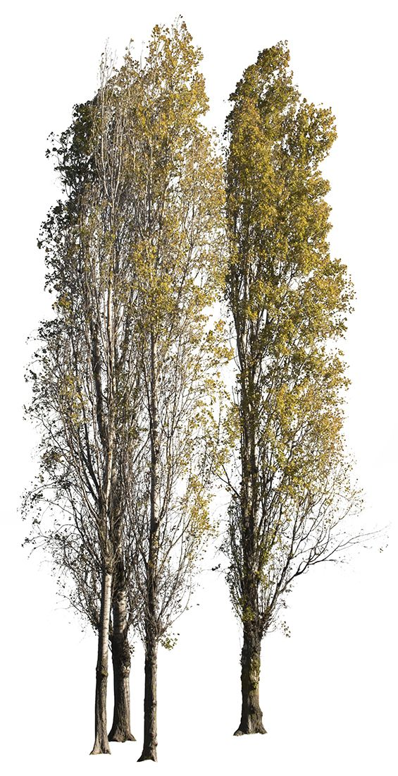 2827 x 5504 Pixels. PNG, with transparent background.  Cutout photo of black poplar tree group in the fall.  Populus nigra  En: Black poplar; Fr: Peuplier; Pt: Choupo negro; Es: Álamo negro; It: Pioppo nero; De: Schwarz-Pappel.