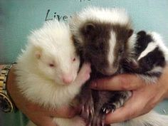 pet skunk colors | Skunk Exotic animal for sale
