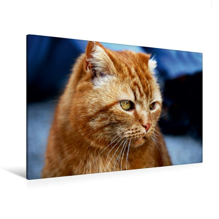 Stubentiger Felix (Premium Foto-Leinwand 45x30 cm, 50x75 cm, 90x60 cm, 120x80 cm)