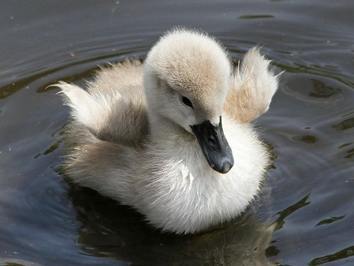 17 Best images about Ducks, Baby Ducklings on Pinterest ...
