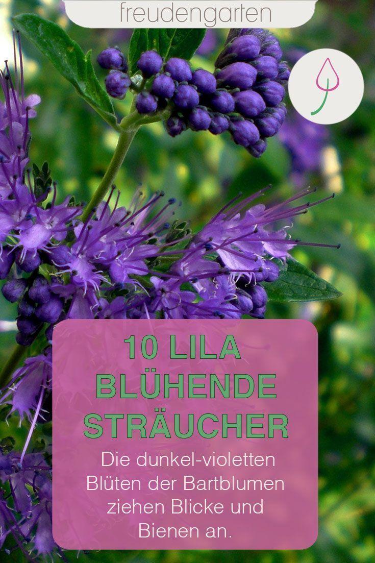 Die Bartblume Zahlt Nicht Nur Zu Den 10 Schonsten Strauchern Die Lila Bluhen Sondern Sind Auch Bei Bienen Landscape Decor Backyard Decor Backyard Landscaping