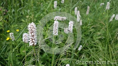 Green meadow with white flowers