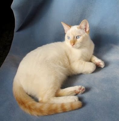 This is the cat that chose me flame point Siamese.