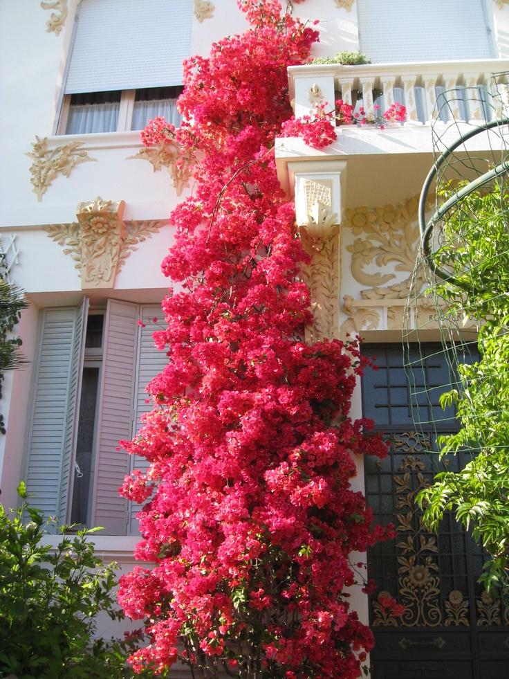 74 Best Bougainvilleas Images On Pinterest Gardening