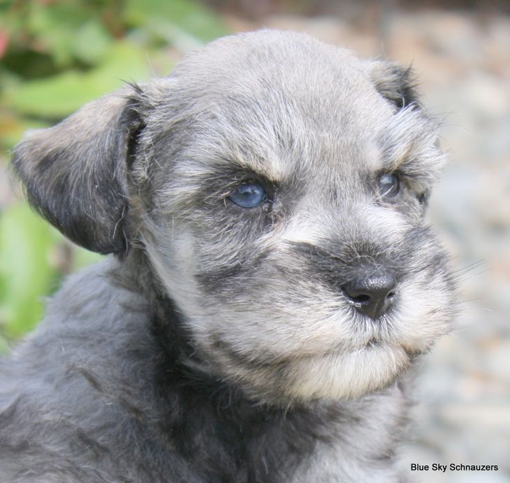 White schnauzer with blue eyes