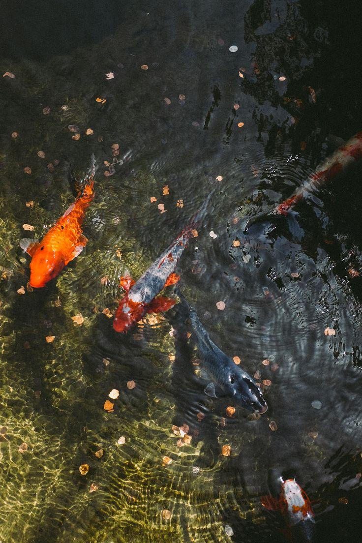 22 best images about botanical garden fish on pinterest for Koi japanese garden screensaver