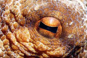 Octopus / Krake Auge