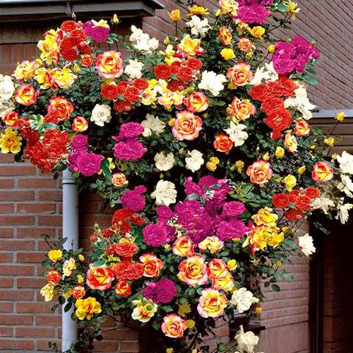 Суперпредложение! Комплект роз плетистых  Цветной микс из 5-ти саженцев +2 в подарок (2833) - заказывайте саженцы с доставкой почтой по России. По тел.☎ 8(800)505-65-43 или онлайн в интернет магазине Беккер.