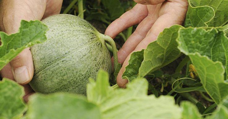 Hierzulande verbinden wir mit Melonen Sommer, Sonne und Exotik. Doch wer ein Gewächshaus hat, kann die beliebten Früchte selbst anbauen. Dazu benötigen Sie nur Anzuchttöpfe, Melonensamen und etwas Platz.