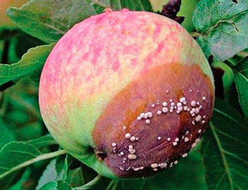 болезни яблонь плодовая гниль