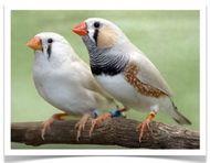 Best 25 zebra finch ideas on pinterest cute birds - Gainesville craigslist farm and garden ...