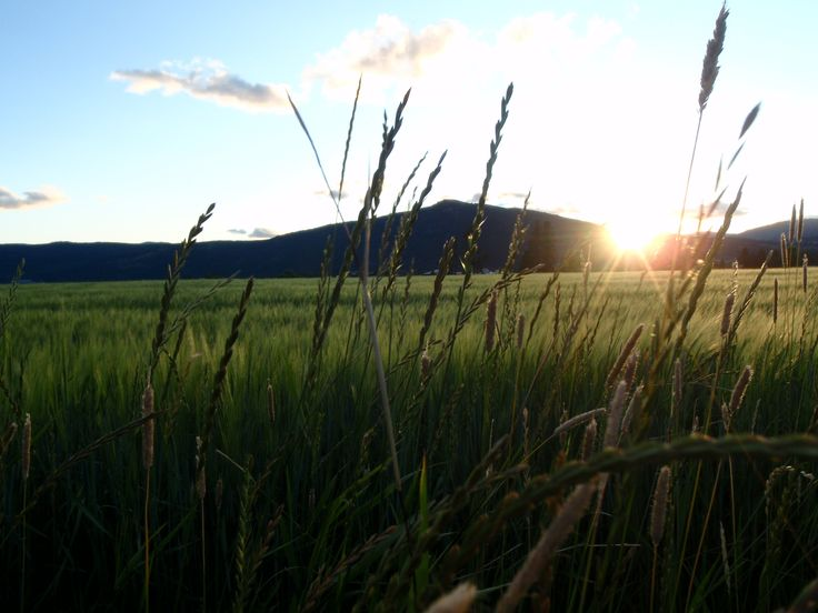 Barley Field looking over Rose Swanson Mountain from Meagan Creek, Armstrong, BC
