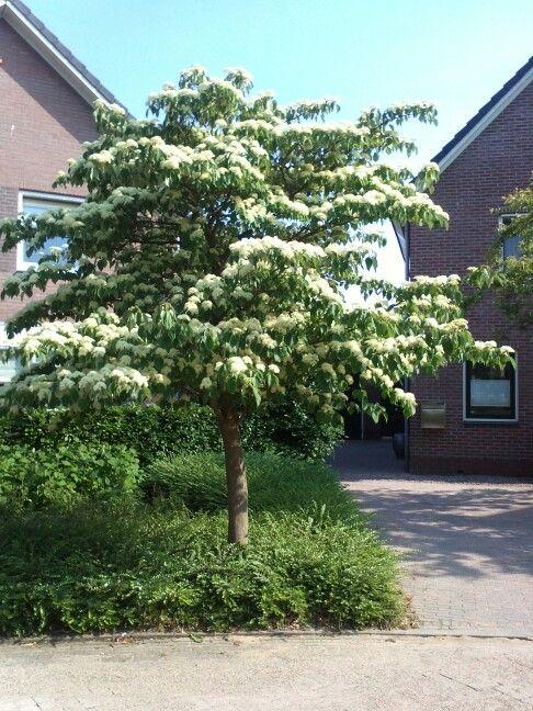 Cornus controversa (Kornoelje), prachtige struik of kleine boom, groeit in etages met horizontale vertakking