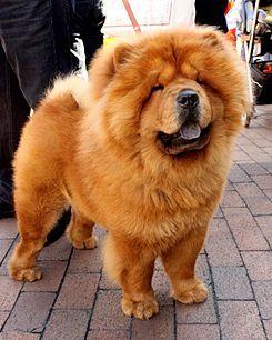 Chow Chow —o sencillamente Chow8 —es una raza canina originaria del Norte de China.9 10 Se cree11 12 que fue uno de los perros nativos utilizados como modelo para el perro de Foo, los guardianes tradicionales de piedra que se encuentran en frente de los templos y palacios budistas. Es una de las pocas razas de perros antiguas que todavía existen hoy en día en el mundo.1