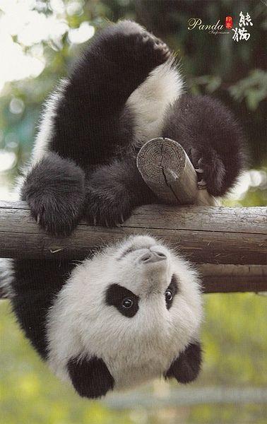 baby panda. I love them!!
