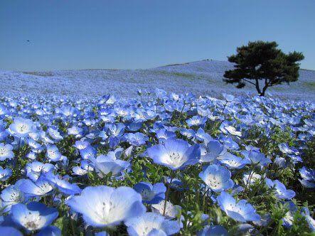 鴨南蛮うどん(・8・)みみこ @kojurou3k  ふと「許す」の花言葉を持つ花はないのかと調べと見たらネモフィラとかいう最高に美しい花が出てきてみみこ泣いてる