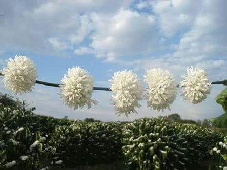 O cafezal em flor.  MG Brasil.