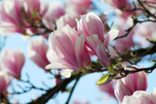 Magnolie pflegen – 4 Tipps