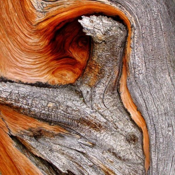 Here's another stunning close-up of an ancient bristlecone pine snapped at Mount Evans in the Rocky Mountains. This one's perfect for playing 'I Spy': just look at the image closely and see which faces, shapes and animals you can make out. There's even a goat in there somewhere! (If you want to know where, follow the link to the Flickr page.)