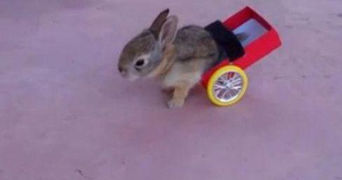 УЗНАЛ САМ  -  РАССКАЖИ ДРУГОМУ!: Парализованному кролику Джо сделали тележку