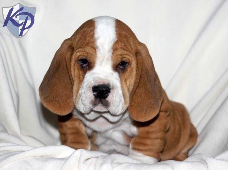 Bully basset, puppy. A basset hound and English bulldog mix ...