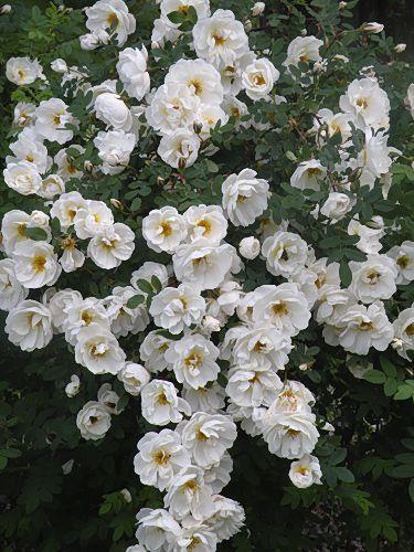 Juhannusruusu = 'midsummer rose' real latin name is Rosa Pimpinellifolia. It blooms in midsummer :)