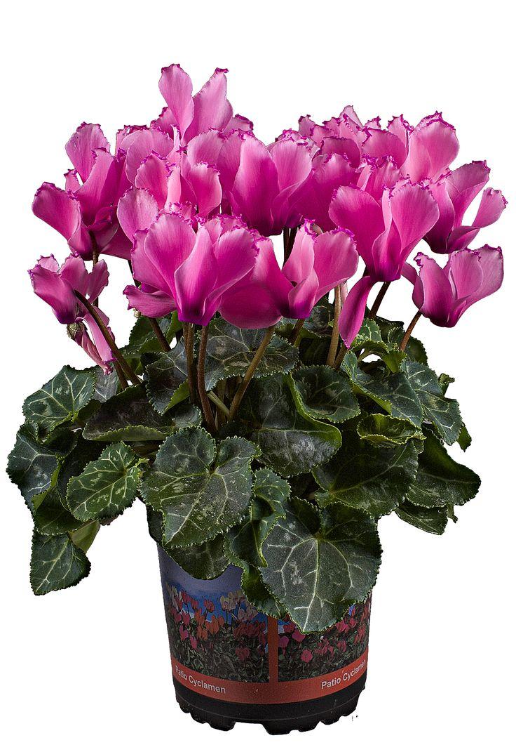 Cyclaam Metis Rose
