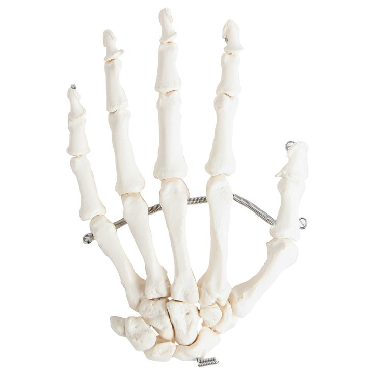 Axis Scientific Articulated Hand Skeleton - Perfect gift for a biology or science teacher! This Axis Scientific articulated hand skeleton model is an anatomically correct modeling of the human hand. The fingers and all bones in this hand model are strung together by a flexible wire that exhibits the natural range of motion of each bone.     This unique model allows students, patients and instructors unsurpassed access and visibility into the working human hand.