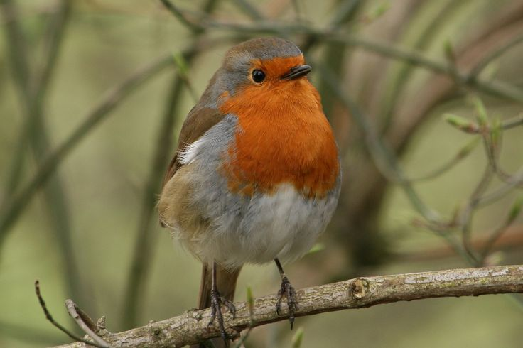Listen to European Robin on british-birdsongs.uk, which is a comprehensive collection of English bird songs and bird calls.