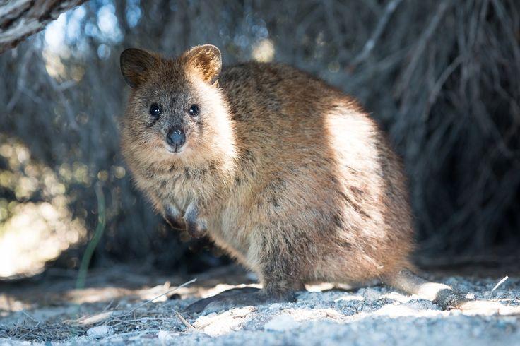 Meet the Quokka — the Happiest Animal Ever