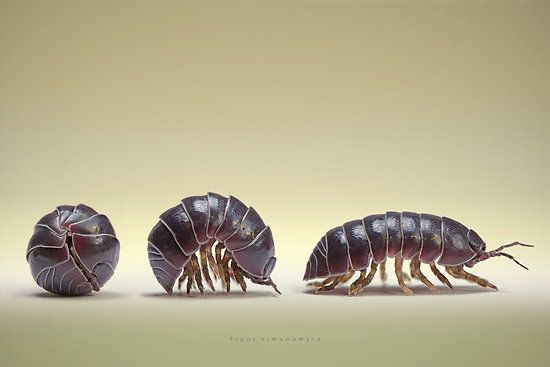 rolly polly | how do i catch rolly polly bugs pill bugs i found a lot of rolly polly ...