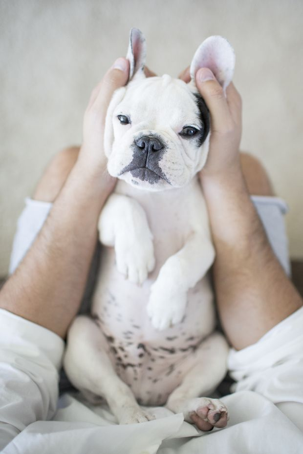 Good Morning America French Bulldog : Wembley the french bulldog puppy by frame your pet pets