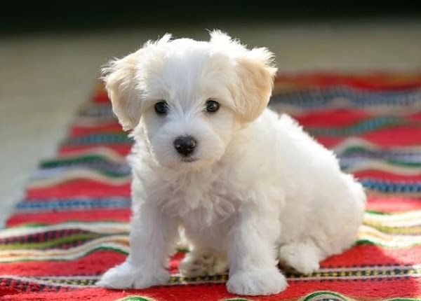 Pure White Maltese Puppies Ready For Their Forever Home Maltese