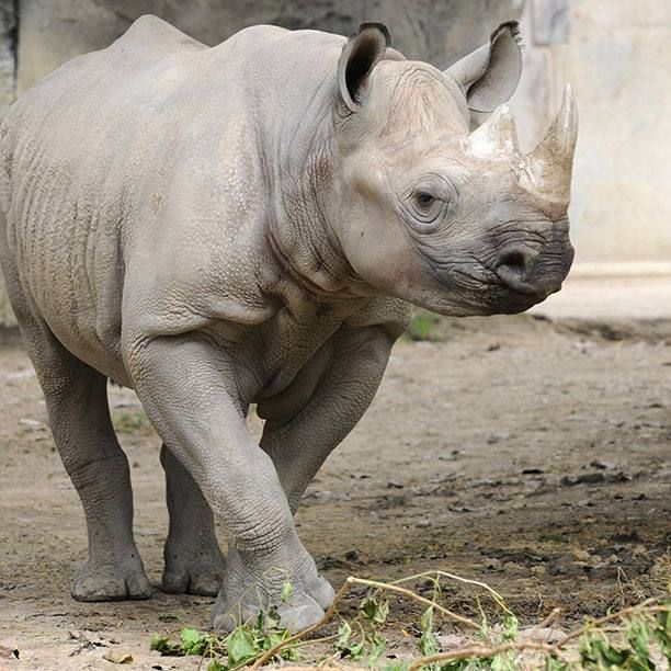 http://www.pinterest.com/TakeCouponss/brookfield-zoo-coupons/ Brookfield Zoo Coupon codes = Stop by Pachyderm House today and greet Layla Black Rhino a very happy 4th birthday! Black rhinos have been hunted almost to extinction for their horns. Help with rhino conservation through the CZS Animal Care and Conservation Fund