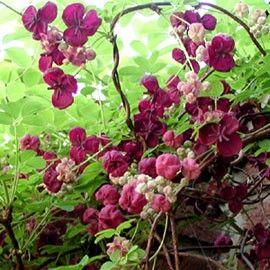 Les 25 meilleures id es de la cat gorie plante grimpante ombre sur pinterest treillis de vigne - Plante couvre sol qui pousse vite ...