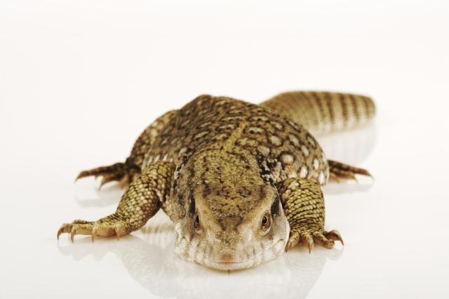 Thinking About a Pet Savannah Monitor?