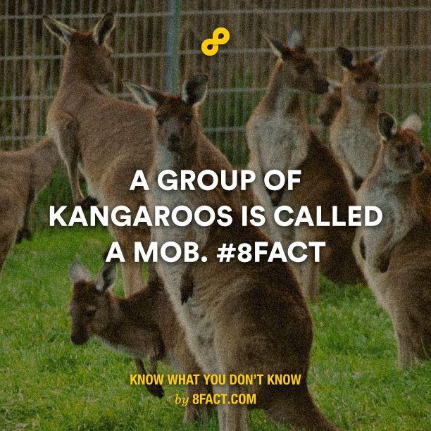 Group of kangaroos is called