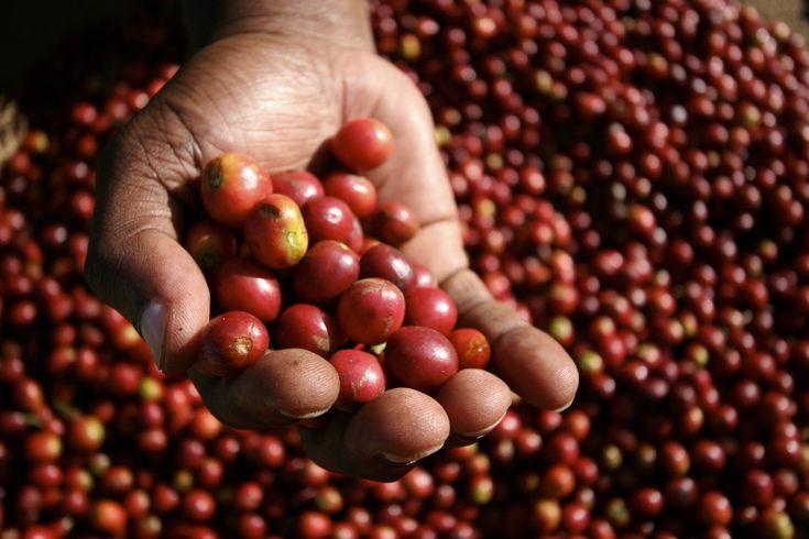 VENTA DE CAFÉ FRESCO 100% EXCELSO DEL MUNICIPIO DE QUINCHIA / RISARALDA