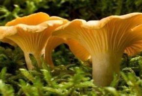 Полезно знать Все очень просто, эти грибы содержат вещество хиноманнозу, которое не переносят жучки, червячки и даже гельминты всех видов.Вещество это капризное, тепловую обработку не выносит, разру…