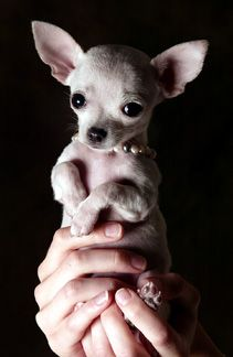 Baby Chihuahua having her portrait taken.  LOVE.