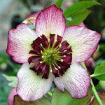 Cherry Blossom Helleborus
