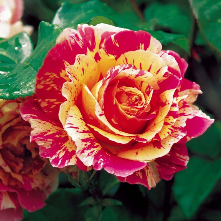 "French rose Delbard ""Claude Monet"""