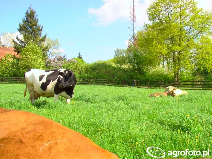 #krowa #rolnik #rolnictwo