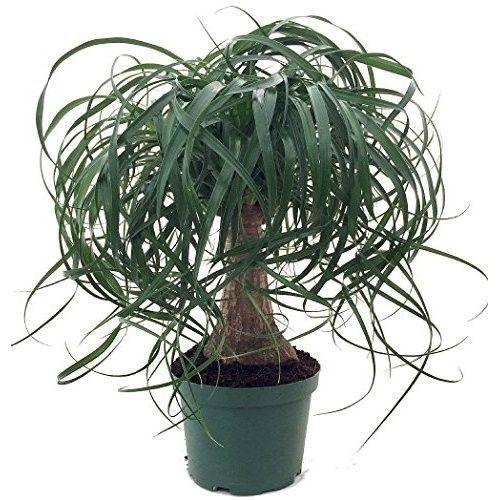"Guatemalan Red Ponytail Palm Tree Beaucarnea 6"" pot Easy to Grow Live Plant New #GuatemalanRedPonytailPalm"