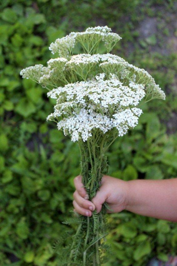 Foraging And Using Yarrow Achillea Millefolium Achillea Millefolium Achillea Plants
