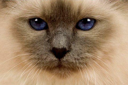 sacré de birmanie  -  Le bleu saphir des yeux de Disco du Béarn, un Sacré de Birmanie âgé de 7 mois, est saisissant. Gérard y voit tout l'amour que son chat lui porte. © Gérard Tranchard