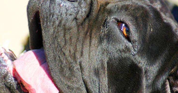 """Colores del mastín napolitano. El mastín napolitano es una raza de perro grande, que originalmente fue creada para la intimidación y la protección. Según Carol Paulsen, autora de""""Neapolitan Mastiff: A Comprehensive Owner's Guide,"""" el mastín napolitano es una raza antigua, que luchó junto a los soldados del Imperio Romano como perros de guerra. Paulsen dice que a pesar de su ..."""