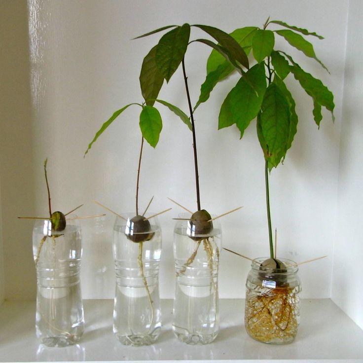 Avocado züchten und pflanzen – Tipps zum Urbangarten