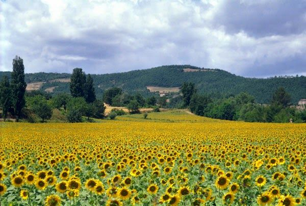 Sunflowers in bloom, Umbertide